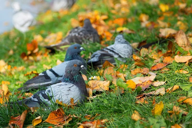 How To Get Rid Of Pigeons In Your Backyard
