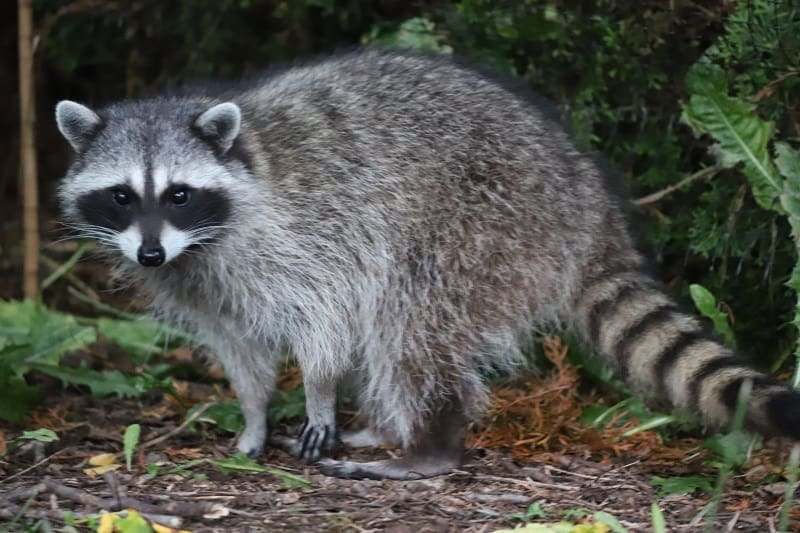 How To Stop Raccoons From Digging Up Your Lawn
